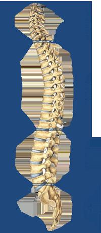 Vértebras, órganos y avisos. ¡Haz click encima de cada vértebra!